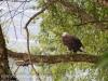 PPL Wetlands bald eagle -031