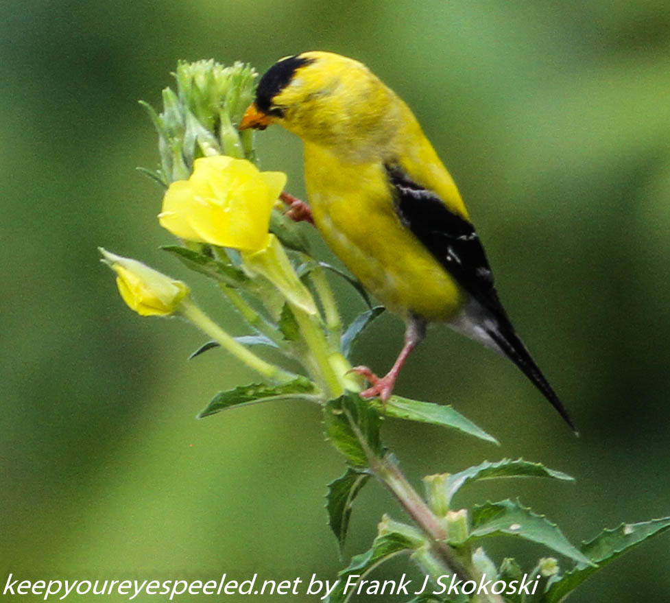 PPL Wetlands goldfinches  (14 of 15)