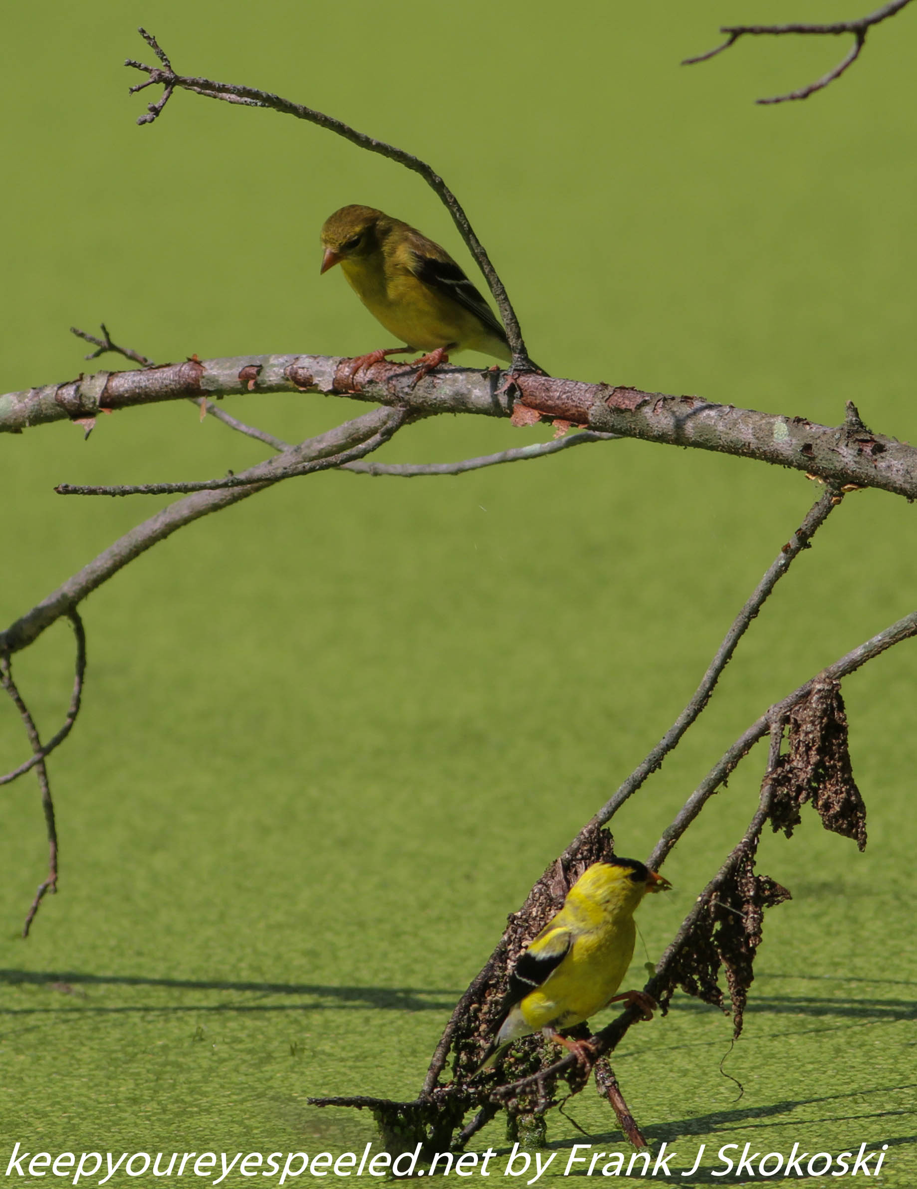 PPL Wetlands goldfinches  (3 of 15)