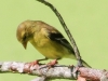 PPL Wetlands goldfinches  (2 of 15)