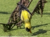 PPL Wetlands goldfinches  (4 of 15)