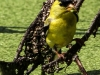 PPL Wetlands goldfinches  (7 of 15)