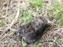 PPL Wetlands Dead star nosed mole April 2 2016