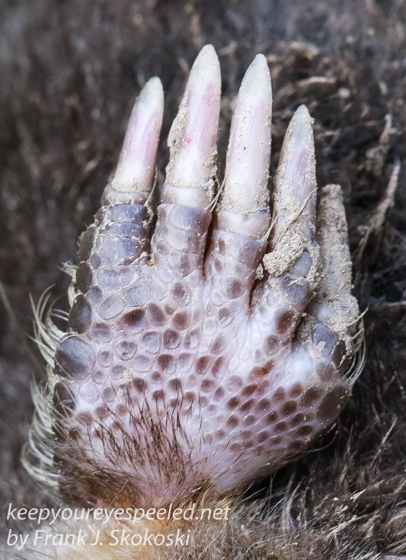 dead star nosed mole -10