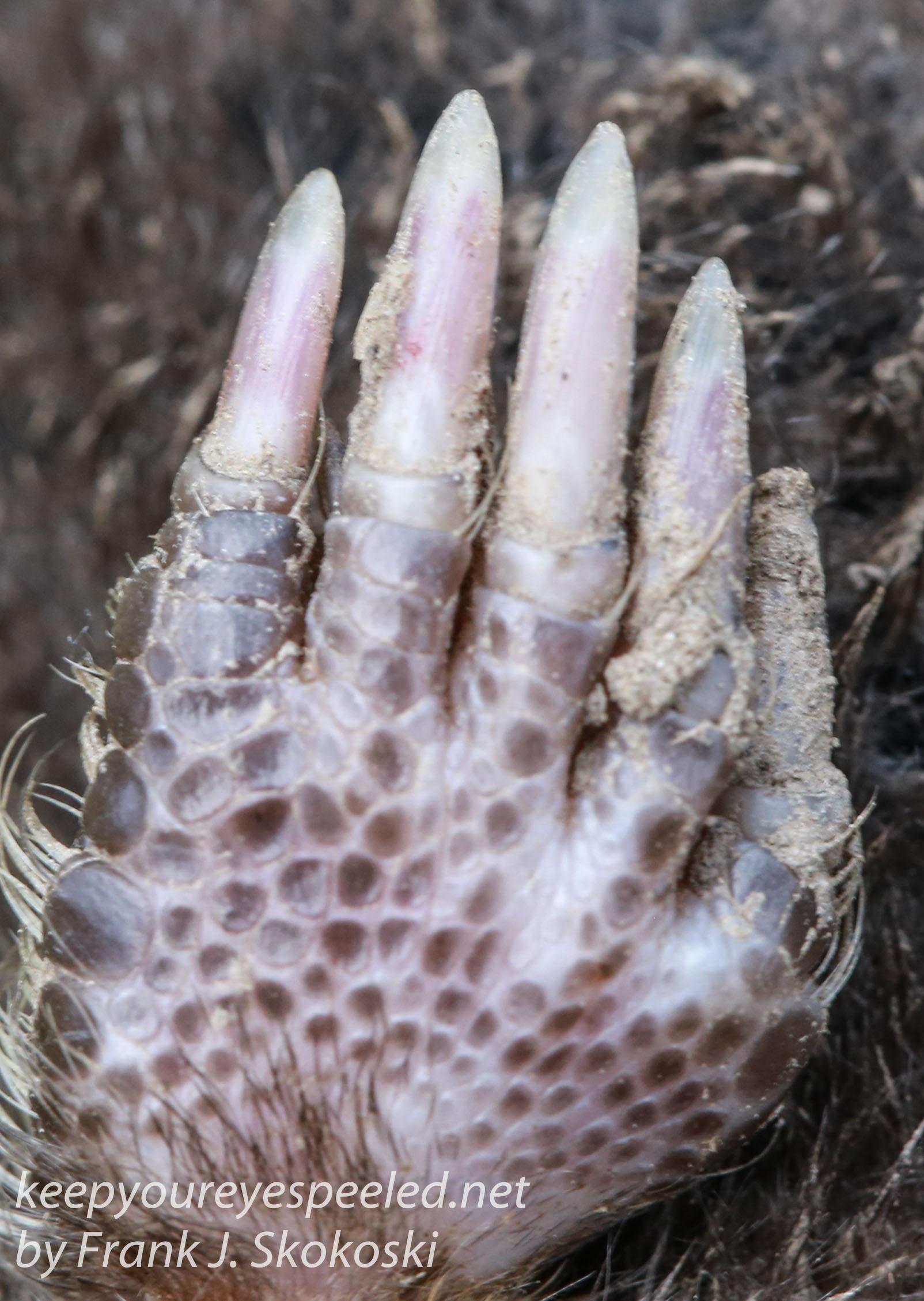 dead star nosed mole -14