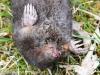 dead star nosed mole -11