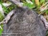 dead star nosed mole -13
