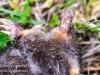 dead star nosed mole -2