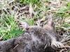 dead star nosed mole -5