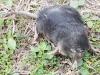 dead star nosed mole -7