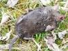 dead star nosed mole -9