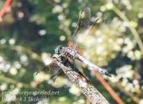 PPL Wetlands dragonflies -1
