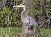 great blue heron (1 of 34)