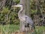 PPL Wetlands Great blue heron October 7 2017