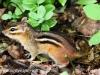 PPL wetlands  chipmunk (1 of 1).jpg