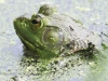 PPL wetlands frog (1 of 1).jpg
