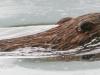 PPL wetlands  muskrat 2 (1 of 1).jpg