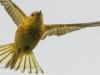 PPL wetlands yellow warbler 5 (1 of 1).jpg