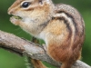 PPL Wetlands chipmunk (1 of 1).jpg