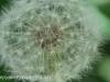 dandelion 2 (4 of 8).jpg