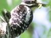 hairy woodpecker 5 (1 of 1).jpg