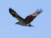 osprey (1 of 1).jpg