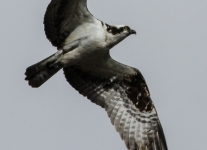 PPL Wetlands Osprey  (1 of 19)
