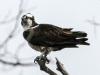 PPL Wetlands Osprey  (2 of 19)