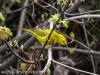 Yellow warbler -1