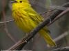 Yellow warbler -11