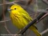 Yellow warbler -12