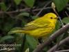 Yellow warbler -2