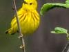 Yellow warbler -4