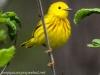 Yellow warbler -5