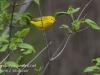 Yellow warbler -7