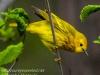 Yellow warbler -8