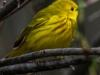 Yellow warbler -9