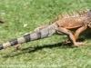 Copamarina day four iguana (2 of 4)