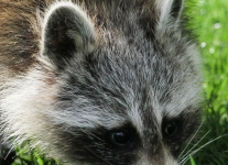 raccoon (1 of 1).jpg