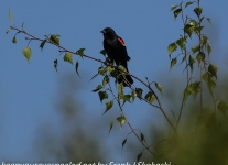 Red winged black bird  (1 of 16)