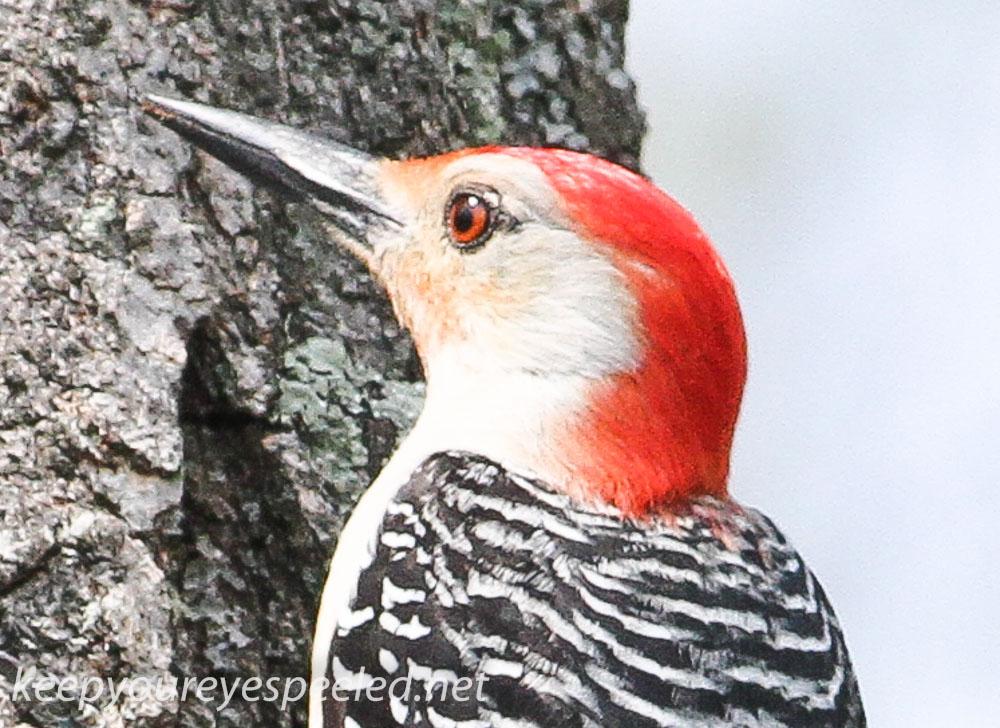 red-bellied woodpecker 3 (1 of 1).jpg