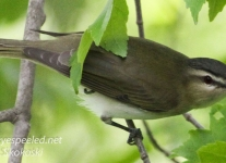 red eyed vireo --1