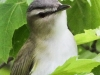 red eyed vireo --2