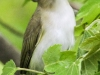 red eyed vireo --4