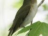 red eyed vireo --5