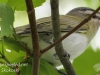 red eyed vireo --6