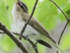 red eyed vireo --7