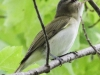 red eyed vireo --8