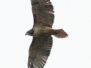 Red tailed hawk November 7 2015