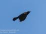 Red winged blackbird June 8 2016